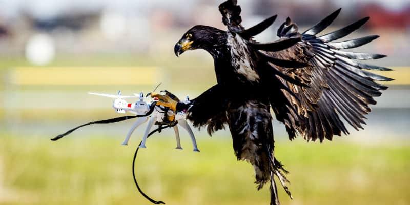 In Svizzera aquile in divisa contro i droni